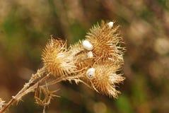 Sniglar på en torr växt Fotografering för Bildbyråer