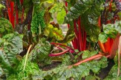 Snijbiet het groeien in een tuin Royalty-vrije Stock Fotografie