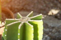 Snijd de kroon van de cactus, de droge rand van de besnoeiing stock fotografie