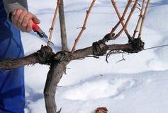 Snijd de wijnstok Stock Afbeelding