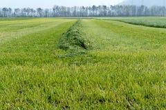 Snijd en harkte vers grasweide met lange symmetrische hopen van vers groen gras royalty-vrije stock foto