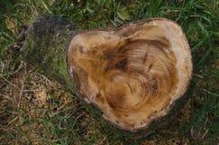 Snijd onlangs boomboomstam die ringen en zaagtekens tonen stock afbeelding