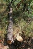Snijd vers boom het programma opent tuin stock foto