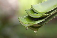 Snijd vers de bladeren van aloëvera royalty-vrije stock foto
