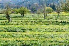 Snijd vers gebieden en weiden met tot bloei komende jonge fruitbomen in een boomgaard stock fotografie