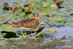 Snipe Royalty Free Stock Photo