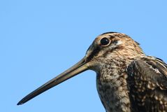 Snipe. Portrait of a common snipe (Gallinago gallinago Royalty Free Stock Photography