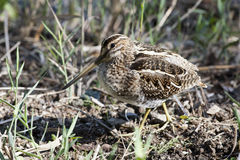 Snipe. Perfectly camouflaged in its natural environment Royalty Free Stock Images