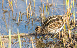 Snipe bird. A Snipe (gallinago gallinago) looks for invertebrates in the mud of a swamp using its specialised bill which is extraordinarily sensitive Stock Photography