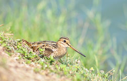 Snipe bird in a field Stock Photography