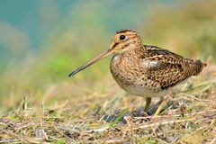 Snipe bird Royalty Free Stock Image