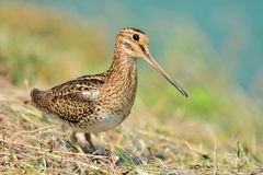 Snipe bird Stock Image