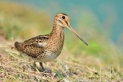 Snipe bird Stock Image