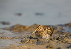 Snipe bird Stock Images
