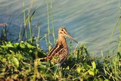 Snipe bird Stock Photo