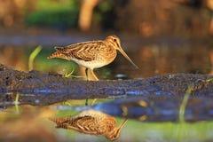 Snipe bird hunting Stock Image