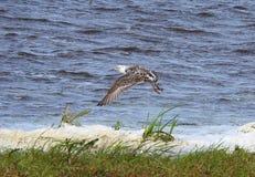 Snipe bird, Lithuania Stock Photo