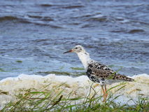 Snipe bird, Lithuania Royalty Free Stock Photos