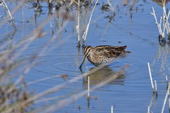 Snipe bird Stock Photo