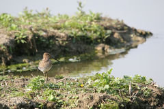 Snipe birds Royalty Free Stock Photos