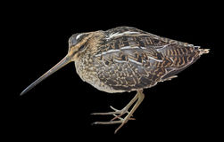 Snipe 6 Royalty Free Stock Photography