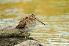 Snipe commun, gallinago de Gallinago Photographie stock libre de droits