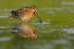 Snipe commun - gallinago de Gallinago Photographie stock libre de droits