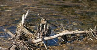 Snipe de Wilson Photos stock