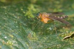 snipe den klipska orangen för chrysopilusen Arkivfoto