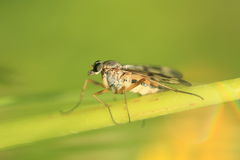 Snipe fly Stock Photos