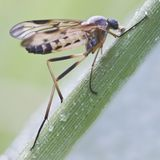 Snipe-fly (Rhagio scolopaceus) Stock Photo