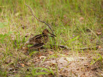Snipe Gallinago media Royalty Free Stock Photo