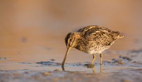 Snipe Stock Images