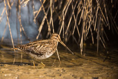 A Snipe Royalty Free Stock Images