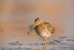 A Snipe Stock Photography