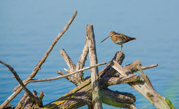Snipe on heap of logs Royalty Free Stock Photos