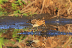 Snipe on the island of swamp land Stock Photos
