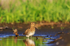 Snipe and little green puddle Stock Images