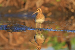 Snipe with long beak standing in a pose. Snipe with long beak is in position, warm colors, summer day, lake Stock Photography
