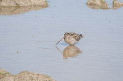 Snipe Royalty Free Stock Images