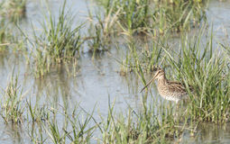 Snipe Royalty Free Stock Photography