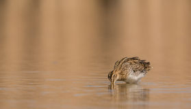 Snipe in shallow waters Stock Photos