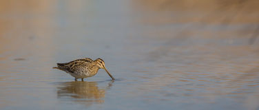 Snipe in shallow waters Royalty Free Stock Photography