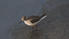 Snipe, standing on the sand of the beach. At dawn stock image