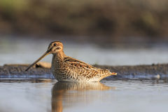 Snipe standing in water Royalty Free Stock Photography