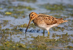 Snipe in swamp Stock Image
