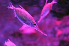 Snipefish underwater Stock Image
