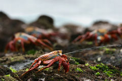 Sniper. The scientific name of these crabs is Grapsus Grapsus and the common name is Sally Lightfoot Crabs or also known as Red Rock Crabs Royalty Free Stock Photos