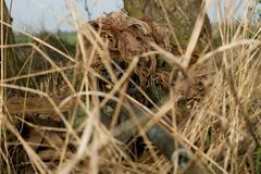 Sniper. Army sniper in camouflage ghillie suit on his position Royalty Free Stock Images