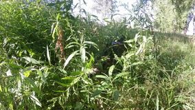 Sniper with a gun camouflaged in the grass in forest stock video